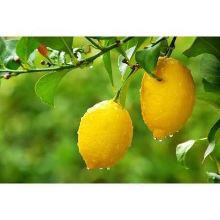 Dressin Lemon in Extra Virgin Olive Oil 250 mL Frantoio Ghiglione