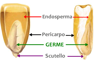 schema germe di mais